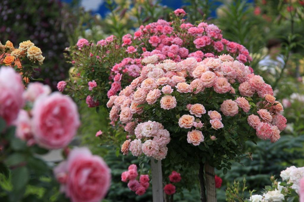 Для осенней подкормки роз я использую яичную скорлупу. Весной они цветут так, что все соседи завидуют