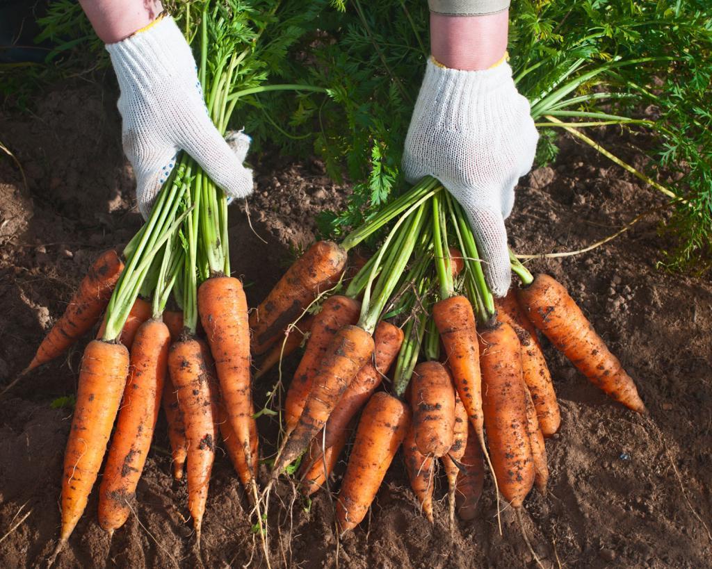 Не в бархатной коробочке, а на морковке: мужчина за несколько месяцев спланировал то, как сделает предложение любимой