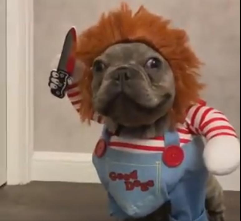 Французский бульдог в очень смешном костюме злодея: видео в Twittere стало очень популярным