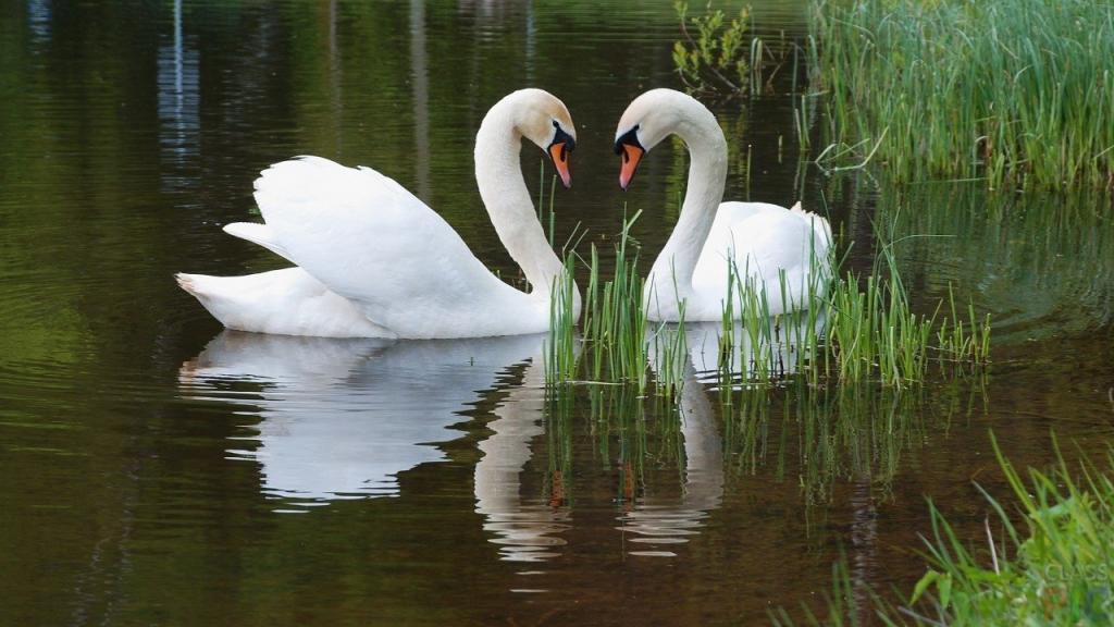 А вы знаете, что в Великобритании все лебеди на Темзе принадлежат королеве? Этот и другие интересные факты о прекрасных птицах