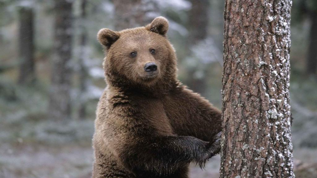 Пчеловод устал бороться с тем, что медведи крадут его мед, и превратил их в дегустаторов