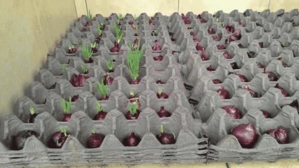 Простой способ выращивания лука в домашних условиях