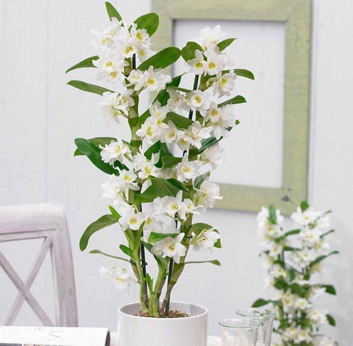 Орхидеи в моем доме цветут и радуют глаз, я знаю о них все. Делюсь с новичками, как выбрать цветок: полезные советы