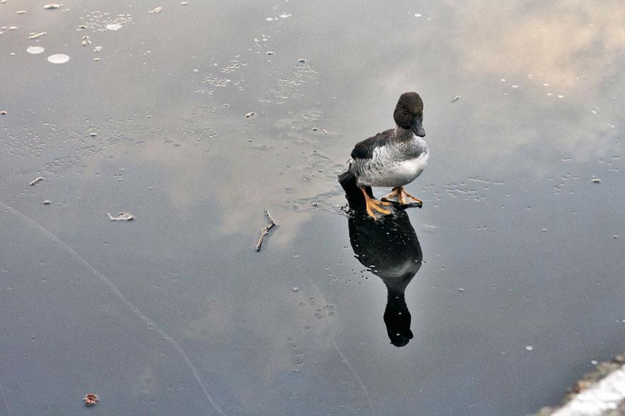 Мужчина нырнул в ледяное озеро, чтобы спасти тонущую утку: он - настоящий герой