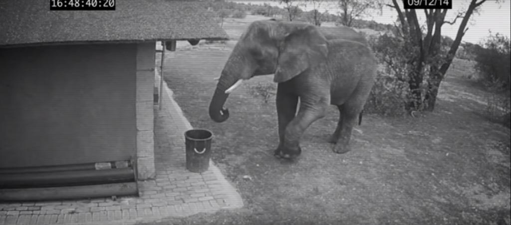 Камера наблюдения  поймала  слона, который собирал мусор с земли прямо в ведро (видео)