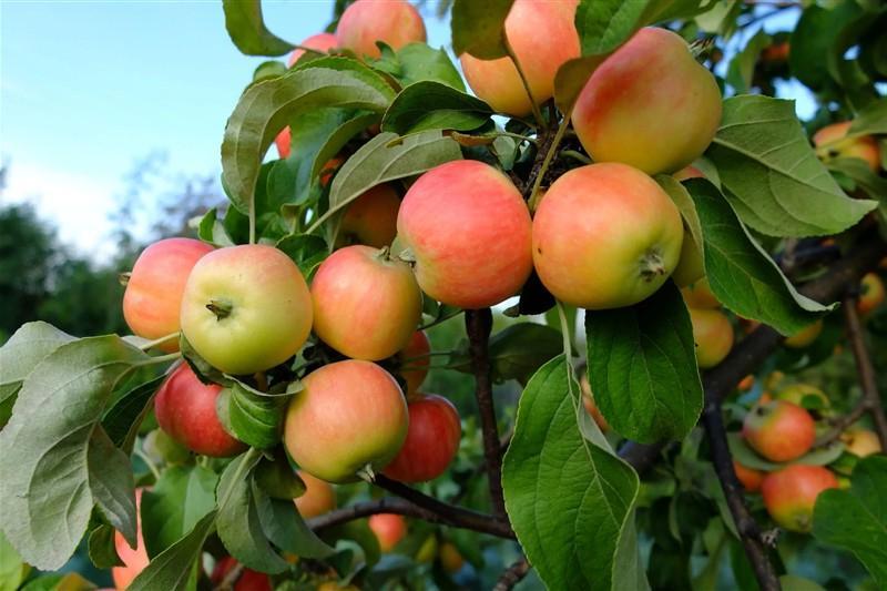Недостаток кальция: что влияет на вкус яблок. Советы экспертов, как их вырастить вкусными и чтобы долго хранились