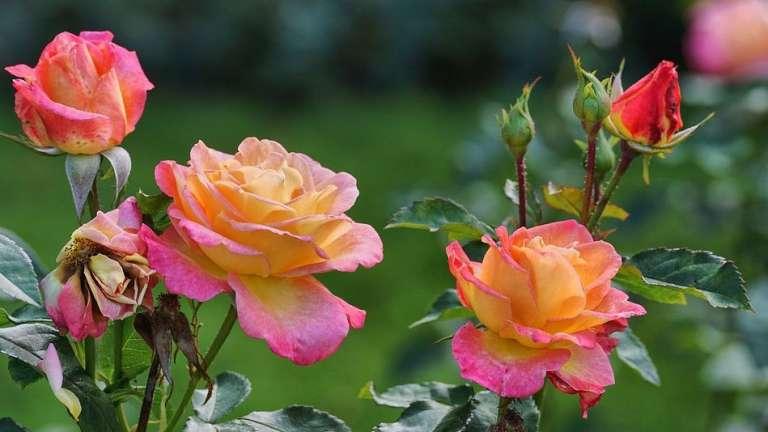 Когда не хватает денег: поздняя посадка роз в октябре - почему она выгодна садоводам с малым бюджетом