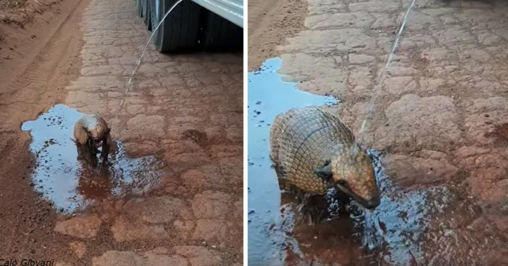 Броненосец страдал от жажды, пока его не заметил водитель грузовика. Шофер проявил смекалку (видео)