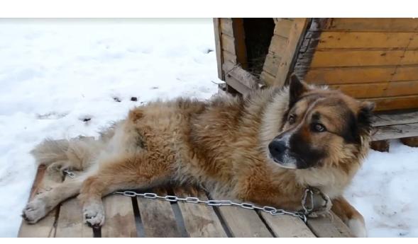 Он ушел… Йети Его нашли лежащим на обочине дороги. Он просто лежал в снежной слякоти и тоскливо смотрел вслед проезжающим машинам.