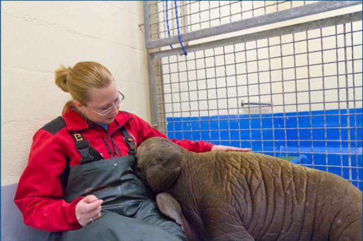 Рыбаки обнаружили детеныша моржа и спасли его: 24 ноября в России празднуют День моржа