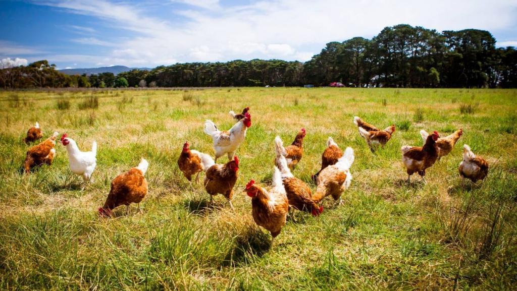 Вместо одной курицы новозеландец по ошибке купил тысячу цыплят
