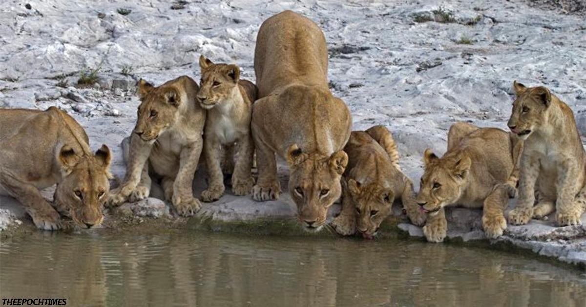 В заброшенном питомнике ЮАР нашли 108 львов