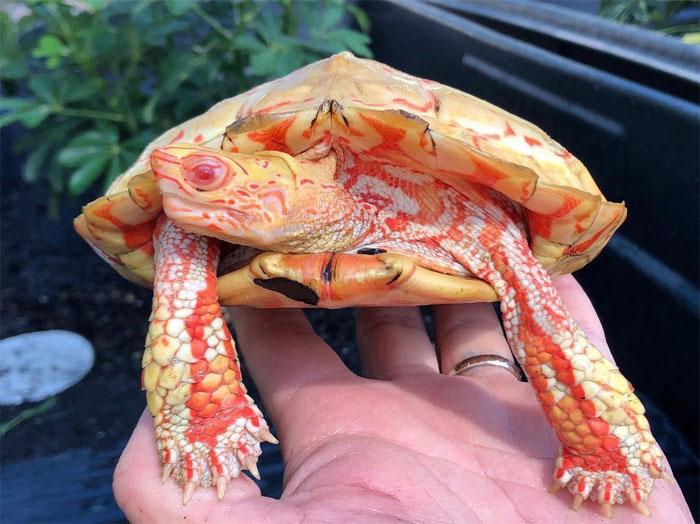 Невероятно красивые черепахи-альбиносы, которые выглядят, как мини-драконы (фото)