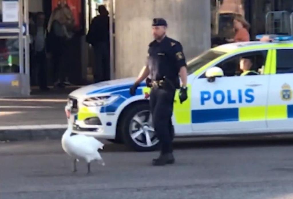 Очевидец заснял на телефон погоню полицейских: нарушителем оказался лебедь
