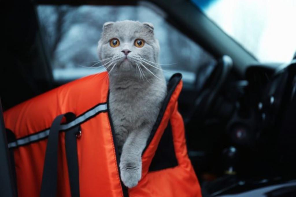 Пускать кота в машину, чтобы он привык к ней, прикрепить к ошейнику идентификационную бирку: как подготовиться к длительной поездке с котом в машине