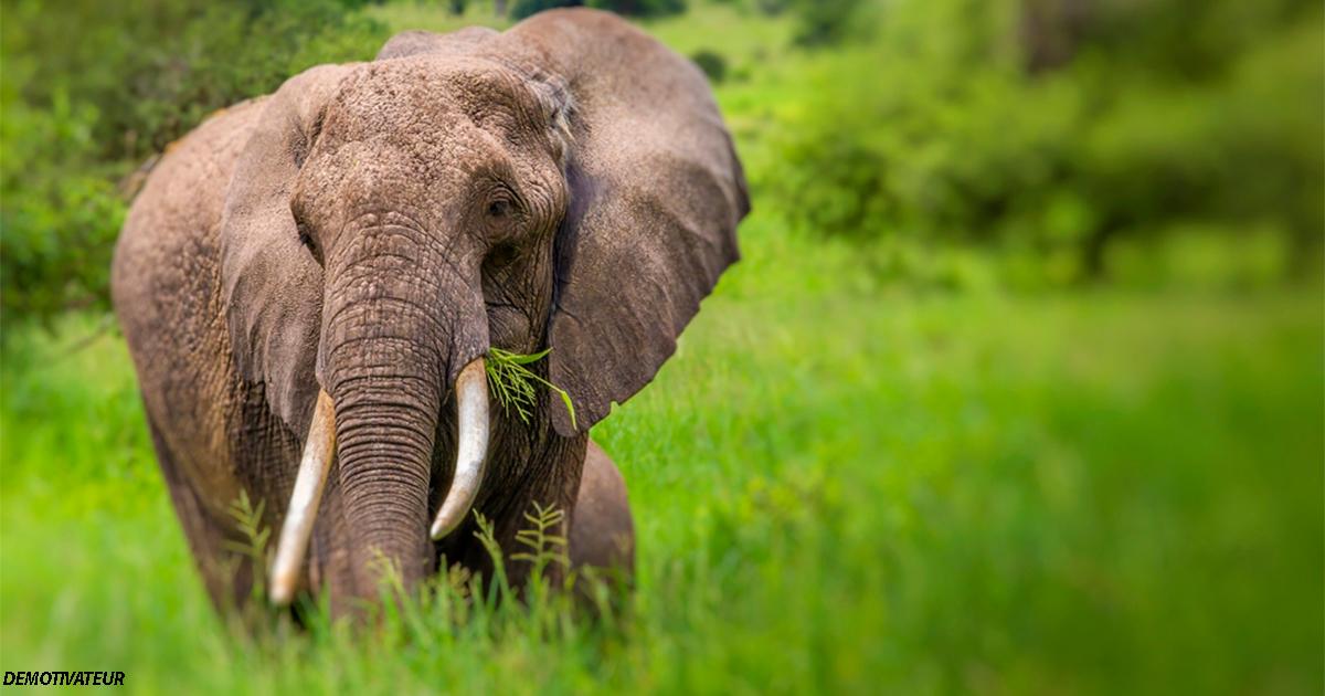 Африканским слонам осталось всего 20 лет. Если срочно ничего не делать