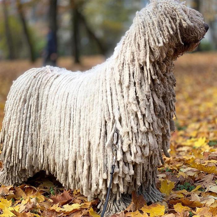 Собака с необычной шерстью: дреды делают ее похожей на палубную швабру (фото)