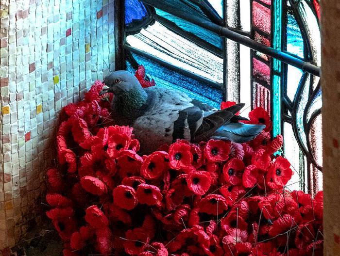 Голубь взял маки с Могилы неизвестного солдата, чтобы соорудить гнездо: это охарактеризовали как связь между человеком и животным