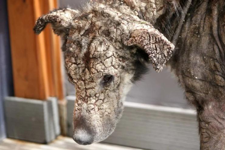Тяжелая судьба окаменевшей собаки. Ей было трудно помочь, но одной женщине удалось