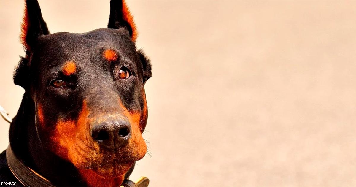 Вот первый город, в котором запретили косметические операции на собаках