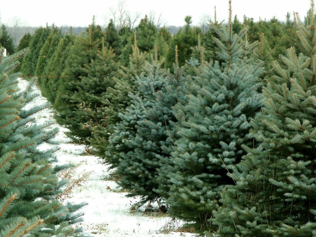 Как сохранить живую елку красивой в течение всех праздников: кукурузный сироп и другие полезные советы