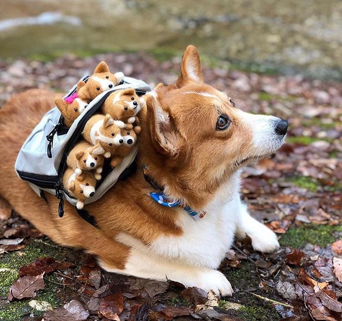 Какая милота! Пользователь  Инстаграма  из Японии запечатлевает свою очаровательную собаку корги Эрико с игрушечными щенками (фото)
