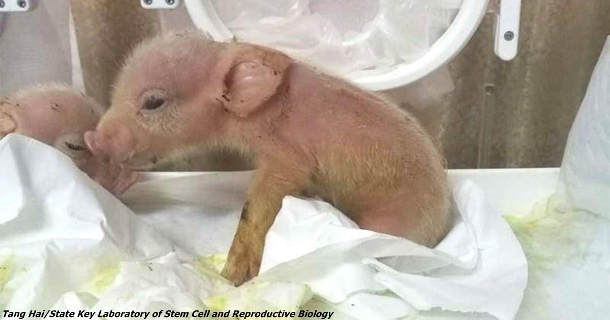 В Китае вырастили первый гибрид свиньи и обезьяны