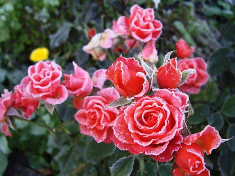 Моя подруга-цветовод рассказала, какую минусовую температуру могут выдержать незакрытые розы зимой