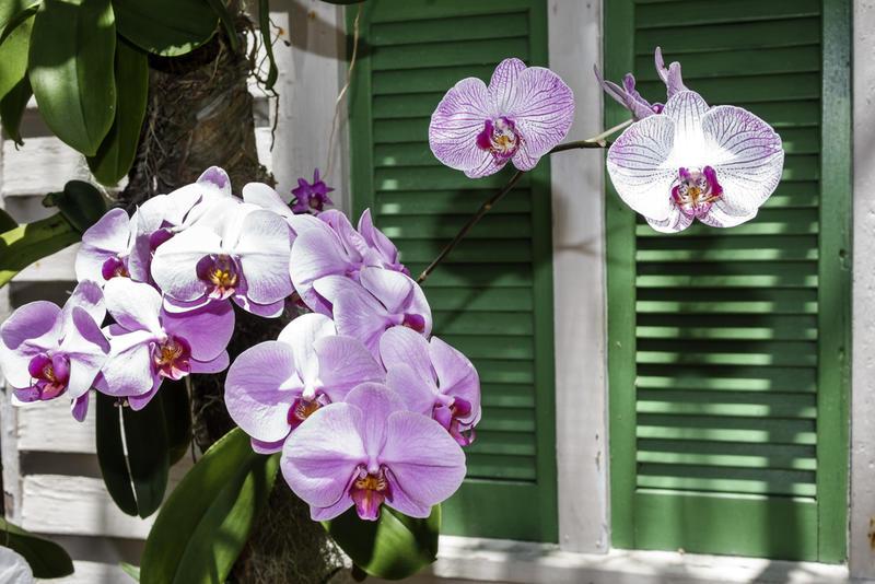 Натуралисты открыли орхидею в начале 19 века. Как в мире началась одержимость орхидеями