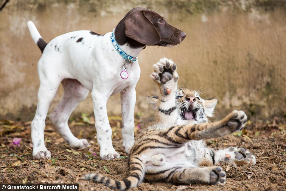 Отвергнутый матерью тигрёнок нашёл лучшего друга — щенка