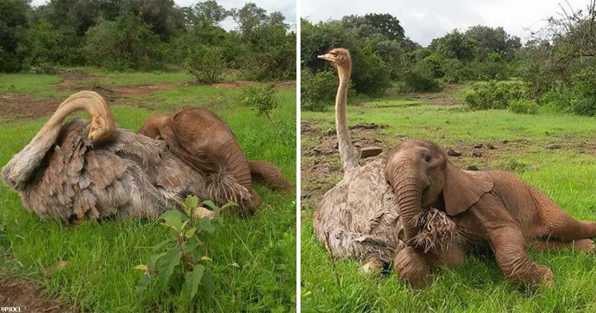 Слон-сирота каждый день обнимает страуса. Он потерял мать, но приобрел друга