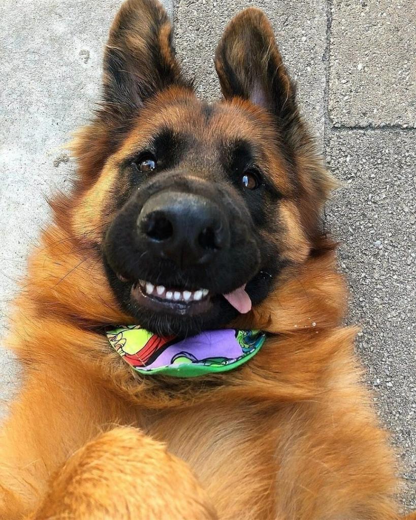 Пара завела милого щенка - его назвали Зевсом. Из него вырос огромный и обаятельный пес, полностью оправдавший свою кличку (фото)