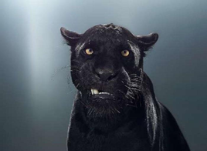 Для красивого портрета. Фотографу понадобился целый год, чтобы расположить к себе «больших кошек»