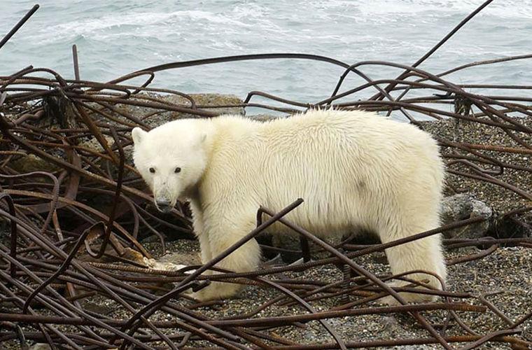 Милые, но опасные: белые медведи осадили деревню на Чукотке