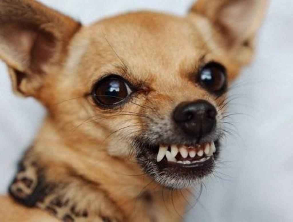 злая маленькая собачка картинки домой через