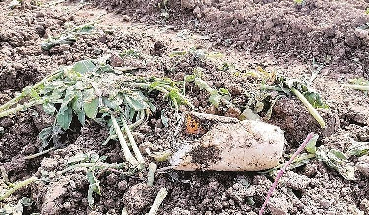 Односельчане попросили у фермеров разрешения выкопать пару мешков репы бесплатно. В итоге предприниматели полностью лишились урожая