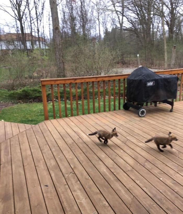Внимание пользователей Сети привлекли лисички, весело играющие во дворе: фотографии, ставшие вирусными