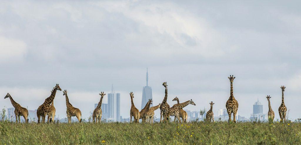 Идеальный пример гармонии человека и природы: фотографии из Национального парка Найроби, находящегося практически в городе