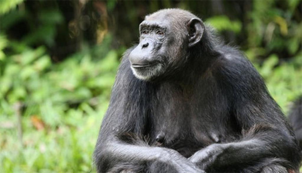 Самки шимпанзе, у которых деспотичные матери, чаще становятся домоседками: ученые