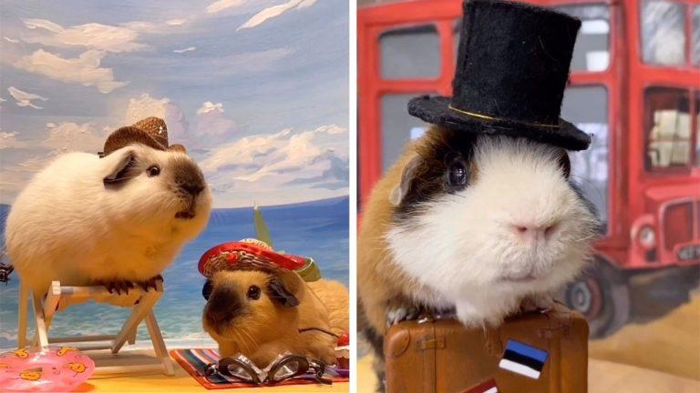Елена любит фотографировать своих морских свинок: фотосессии выходят просто восхитительные (видео)