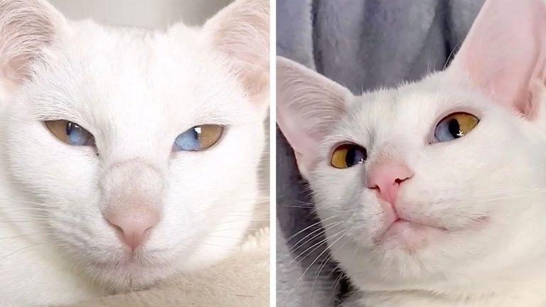 Уникальная кошка с двухцветными глазами стала звездой соцсетей