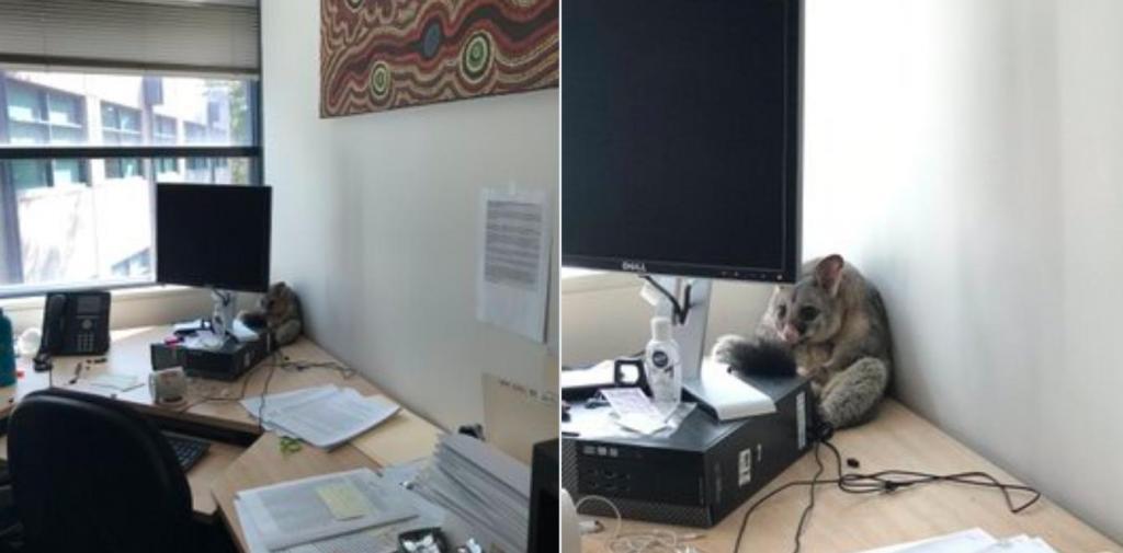В Австралии опоссум заглянул в кабинет доктора и вызвал восторг у всех (фото)