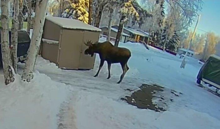 Уличная камера записала, как мужчина из США испугался огромного лося и спрятался в сарае
