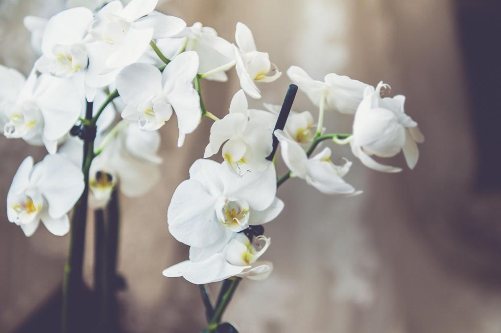 У моей бабушки орхидеи цветут, как сумасшедшие. Она говорит, все дело   в поливе