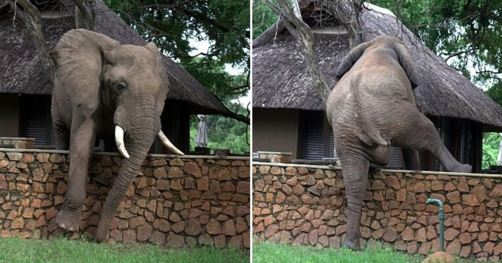 Умный слон перелез через забор, чтобы украсть манго с соседнего дерева