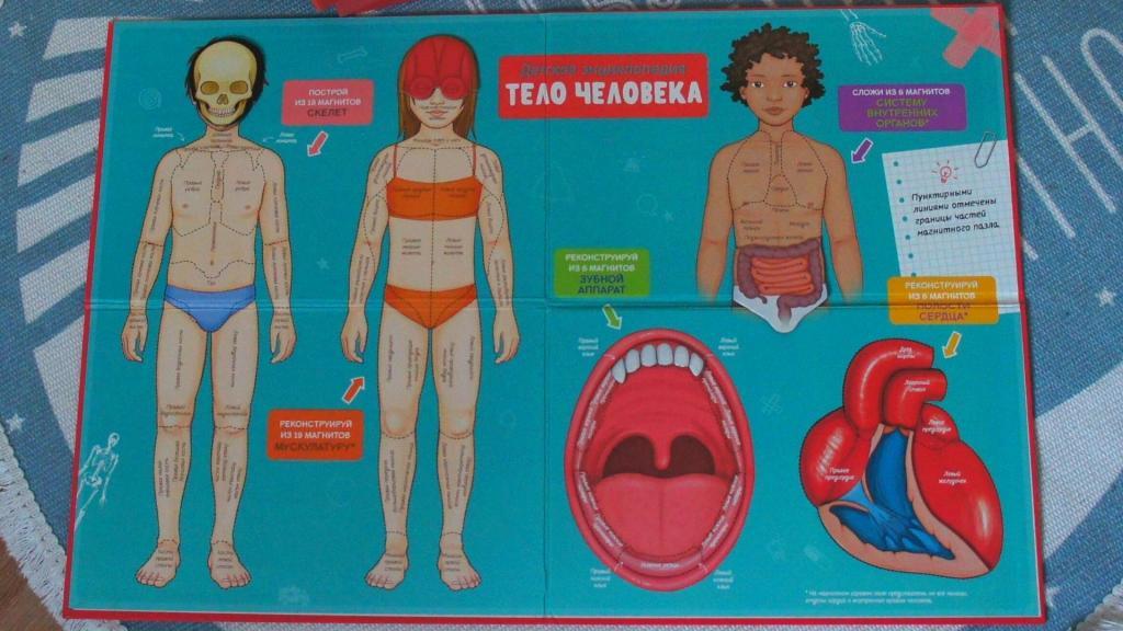 Путешествие по телу человека: как познакомить ребенка с анатомией и физиологией