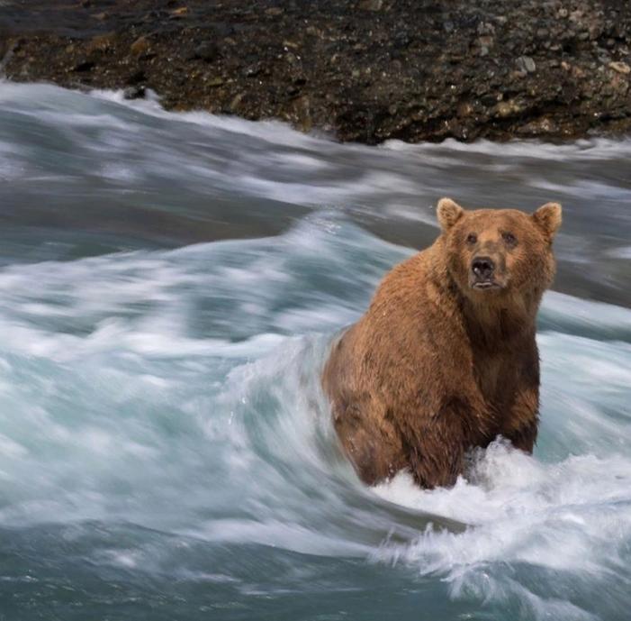 Предполагаемая добыча полезных ископаемых угрожает дикой природе Аляски, где обитает самая большая популяция бурого медведя