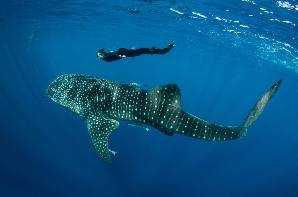 Почти у каждой пятой акулы ученые обнаружили шрамы от лодок: новое исследование