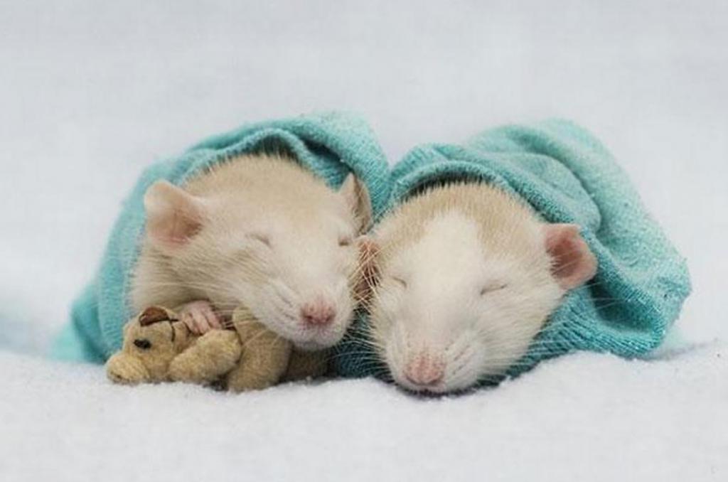 Они тоже могут быть милыми! Интересные фотографии крыс с плюшевыми медведями