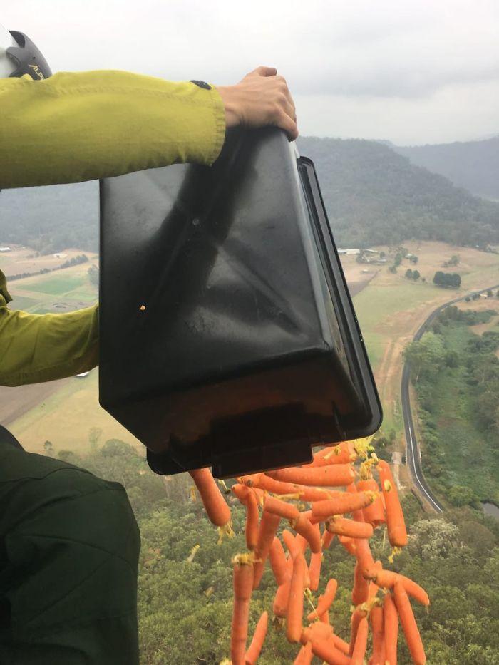 Правительство Уэльса сбросило с самолета тонны еды в виде морковок и картофеля в помощь животным в Австралии